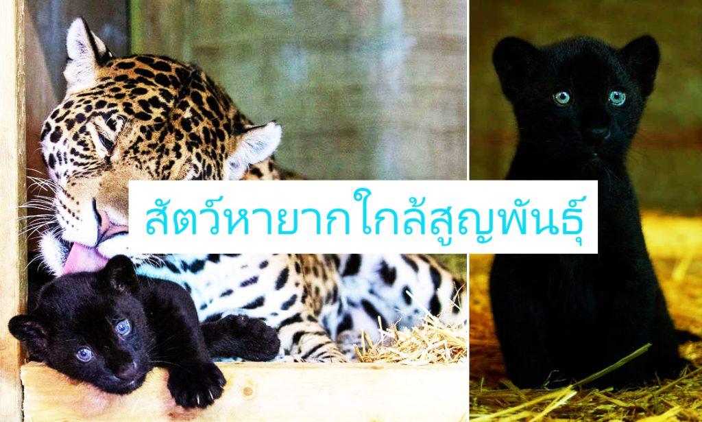 เสือจากัวร์สีดำ