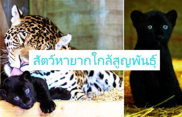 เสือจากัวร์สีดำ เป็นสัตว์ป่าที่หายากที่สุดในโลก