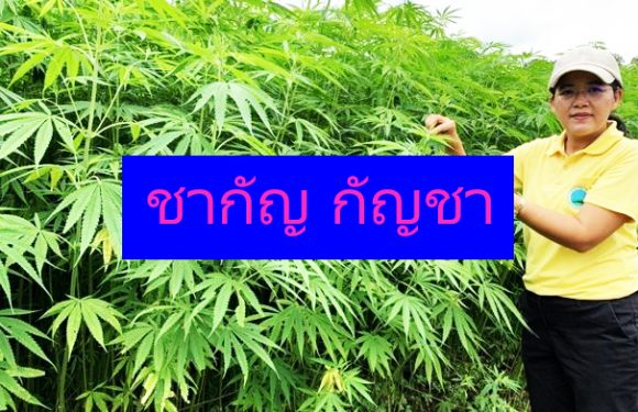 กฎหมายกัญชา ในประเทศไทยที่ทุกคนต้องการความชัดเจน